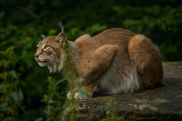 Norway cruise wildlife - lynx