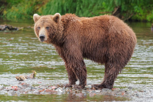 Russian Arctic cruise - wildlife - brown bear