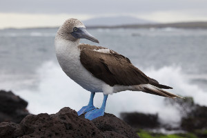 South America cruise wildlife - booby