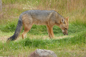South America cruise wildlife - fox