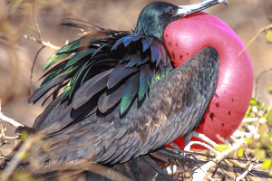 South America cruise wildlife - frigatebird