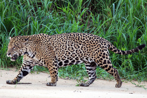South America cruise wildlife - jaguar