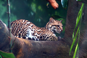 South America cruise wildlife - ocelot