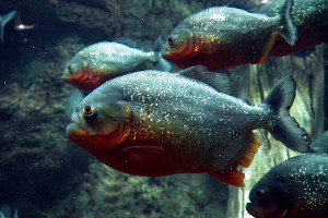 South America cruise wildlife - piranha