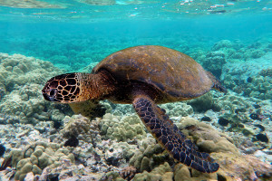 South America cruise wildlife - sea-turtle