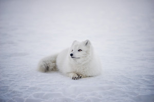 Russian arctic cruise wildlife fox