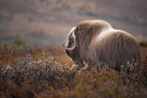 Russian arctic cruise  wildlife musk ox