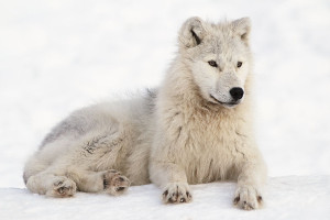 Greenland Cruisecruise wildlife wolf