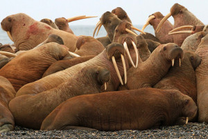 best-places-to-see-Svalbard-wildlife-walrus