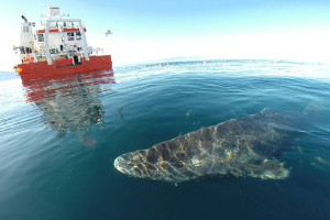 best-places-to-see-arctic-wildlife-greenland-shark