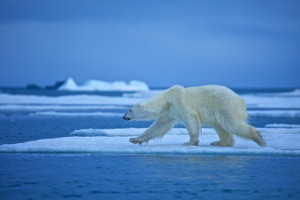 arctic-wildlife-polar-bear