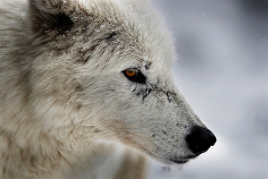 Northwest passage wolf