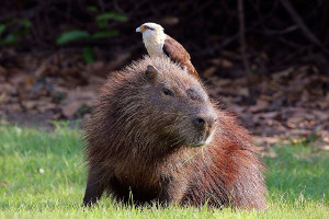 Amazon cruise wildlife - capybara