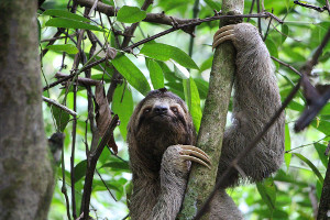 Amazon cruise wildlife - sloth