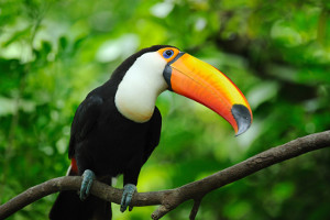 Amazon cruise wildlife - toucan