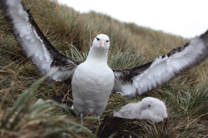 Patagonia cruise wildlife - albatross