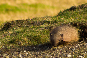 Patagonia cruise wildlife - armadillo