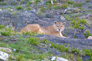Patagonia cruise wildlife - puma