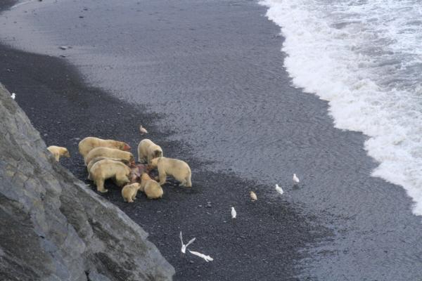 Wrangel Island polar bears