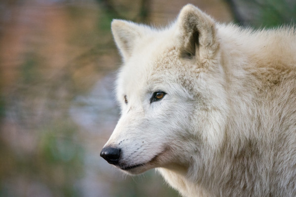 Hudson Bay wildlife - wolf