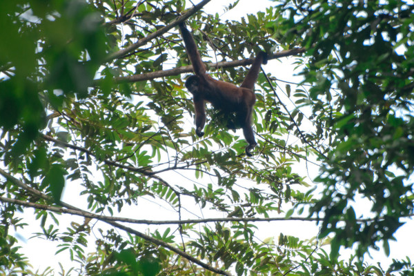 Yasuni National Park - monkey